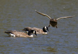 duck coming in for a water landing face on over two geese_MG_8840.jpg