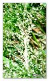 Grass Flowers1.jpg