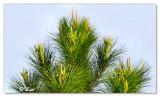 Pine top.jpg