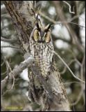 Long-Eared Owls / Moyens ducs