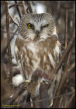 Saw-Whet Owl /Petite nyctale