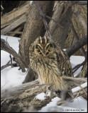 Short-eared Owls / Hiboux des marais