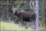 COW MOOSE,  KANANASKIS COUNTRY