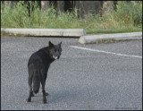 BLACK WOLF, BOW VALLEY PARKWAY