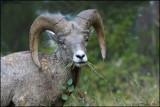 ROCKY MTN .SHEEP   RAM