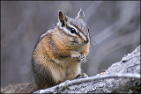LEAST CHIPMUNK,  BANFF N.P.