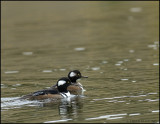 HOODED MERGANSERS,  BANFF N.P.