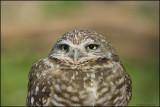OWLS  /  HIBOUX et CHOUETTES