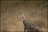 WILD TURKEY-800.jpg
