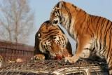 Tiger! Tiger! Tiger!