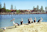 Clarence River Pelicans