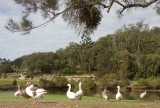 Geese, mainly