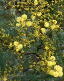 Acacia (identification needed)