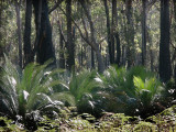 Cycads in a forest