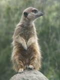 Sentinel Meerkat