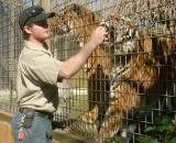 Feeding the Bengal Tigers