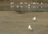 Gulls beside a creek