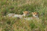 Cheetahs watching us watch them.jpg
