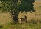 Mara cheetah under a tree .jpg