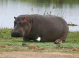 Amboseli Hippo Stuck in the mud.jpg