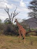 Giraffe headed home.jpg