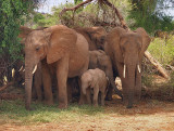 Huddle of elephants protecting the young.jpg