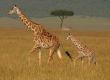 Mara Giraffe Mom and baby.jpg
