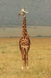Mara Giraffe standing at attention.jpg