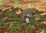 Monkey pulling up grass.jpg