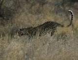 Elusive Samburu  leopard .jpg