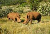 Two Mara Rhinos.jpg