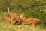 A family reunion - lion style.jpg