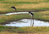 Two storks at Amboseli.jpg