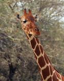 Samburu giraffe portrait.jpg
