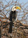 Yellow billed hornbill.jpg