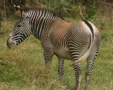 Grevys zebra having breakfast n the deep lush grass at Samburu.jpg