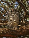 Samburu owl with red eyes.jpg
