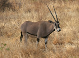 Samburu Oryx in the tall grass.jpg
