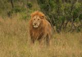 Big cinnamon maned lion in the Mara.jpg