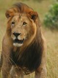 Black maned Mara lion.jpg
