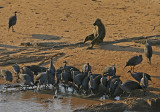 Baboon Lifeguard in Samburu.jpg