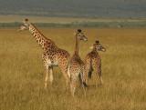Three Mara Giraffes .jpg