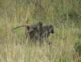 Piggyback  Baby Baboon.jpg