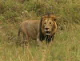 Black Maned  Mara lion .jpg