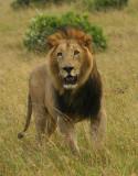 Masai Mara - black maned lion .jpg