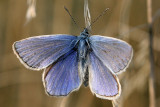 Icarus blauwtje (man)Common blue(male)Polyommatus icarus