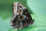 Morpho spMorpho vlinder