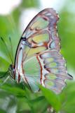 Siproeta stelenes Malachietvlinder