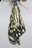 Idea leuconoe Papiervlinder