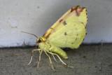 Opisthograptis luteolata Hagedoornvlinder